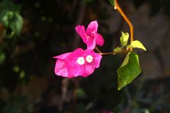 Nahaufnahme romantische rosa begonvil Blume Lizenzfreies Stockfoto