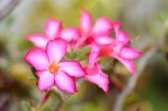 Nahaufnahme - rosa Blume, Adenium obesum Baum, Wüstenrose, Impala-Lilie, Scheinazalee Lizenzfreies Stockfoto