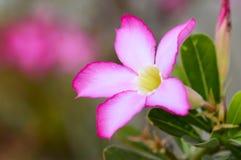 Nahaufnahme - rosa Blume, Adenium obesum Baum, Wüstenrose, Impala-Lilie, Scheinazalee Stockfotografie