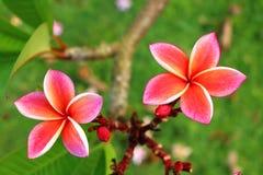 Nahaufnahme rosa Plumeria im Garten Stockbild