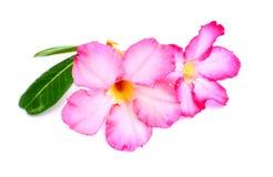 Nahaufnahme rosa Wüste Rose Flower oder Adenium obesum lokalisiert auf w Lizenzfreie Stockfotografie
