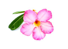 Nahaufnahme rosa Wüste Rose Flower oder Adenium obesum lokalisiert auf w Stockfoto