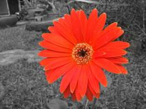 Nahaufnahme rote Gerbera-Gänseblümchenblume Lizenzfreie Stockfotos