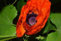 Nahaufnahme rote Papaver rhoeas der roten Mohnblumenblume auf dem Sommerfeld Makrophotographie der Natur im Häuschengarten in Uta Stockbilder