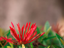 Nahaufnahme rote Rubiaceae-Blumenknospe Stockbild