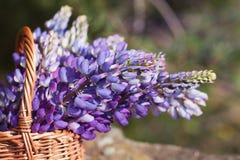 Nahaufnahme schöner violetter Lupineblumenstrauß im Korb auf dem offenen ai Lizenzfreies Stockfoto