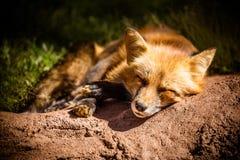 Nahaufnahme schläfrigen roten Fox auf dem Boden lizenzfreie stockfotos