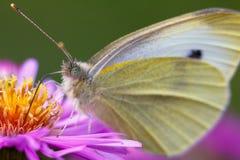 Nahaufnahme-Schmetterling auf Blume Lizenzfreies Stockbild