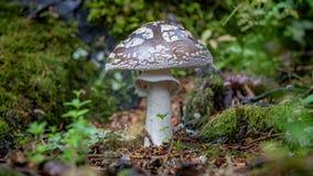 Nahaufnahme schoss von den essbaren Pilzen, die als Enokitake, goldener Nadelpilz bekannt sind Lizenzfreie Stockfotografie