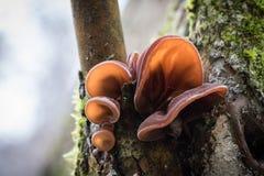 Nahaufnahme schoss von den essbaren Pilzen, die als hölzernes Ohr bekannt sind Stockfotografie