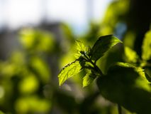 Nahaufnahme schoss von der frischen, grünen Pfefferminz, die zuhause mit aus Fokushintergrund heraus wächst lizenzfreie stockfotos