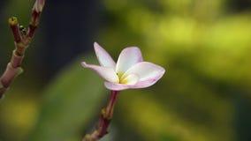Nahaufnahme schoss von der Plumeriablume, die auf Baum blüht stock footage