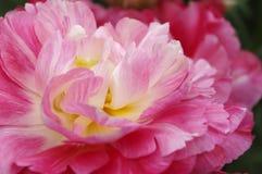 Nahaufnahme schoss von der roten Pfingstrosenblume im keukenhof Stockfotos