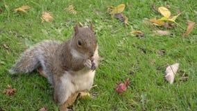 Nahaufnahme schoss von einem Eichhörnchen, welches die Kamera gegenüberstellt und aß etwas Nahrung, die auf zwei Beinen steht stock video footage