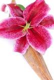 Nahaufnahme schoss von einer herrlichen Lilienblume Stockfotografie