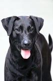 Nahaufnahme-schwarzer Retriever Labrador Stockfotos