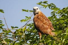 Nahaufnahme Schwarzes ergatterter Hawk Perched auf Büschen mit blauem Himmel Lizenzfreie Stockfotos
