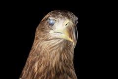 Nahaufnahme-Seeadler, Greifvögel lokalisiert auf schwarzem Hintergrund Stockfotografie
