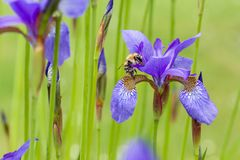 Nahaufnahme sibirica Iris der APIhonigbiene blühender purpurrotes sibirian Besuchsiris im Frühjahr vor natürlichem grünem Hinterg Stockfotos