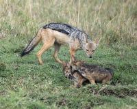 Nahaufnahme sideview eines Mutterschabrackenschakals, welche ihren Jungen sich nähert, die kämpfen Lizenzfreie Stockfotos