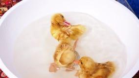 Nahaufnahme, Spaß mit drei wenig gelber Entlein, der im weißen Waschbecken badet stock video