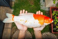 Nahaufnahme starb Koi Fish auf bloßen Händen im Garten Lizenzfreies Stockfoto