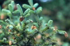 Nahaufnahme-Tannenzweige mit Kegeln, Winter Weihnachten, guten Rutsch ins Neue Jahr Natürlicher Hintergrund, modische grüne Farbe lizenzfreies stockfoto