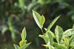 Nahaufnahme-Teeblatt Stockbild