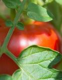 Nahaufnahme-Tomate Lizenzfreie Stockfotos
