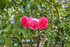 Nahaufnahme Tripple-Rosa-oder SommerDamaskusrose Rosa? Damascena-Mühle / Rosaceae-Blumen Stockbilder