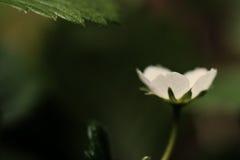 Nahaufnahme und flacher Fokus einer Erdbeere blühen Stockfotografie