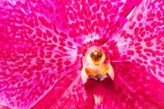 Nahaufnahme und lokalisierte Vanda-Orchidee Thailand Stockbilder