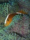Nahaufnahme und Makroschu? von Amphiprion perideraion alias die rosa Stinktier clownfish oder die rosa anemonefish w?hrend der Fr lizenzfreies stockbild