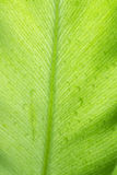 Nahaufnahme und Tropfen des Grünpflanzeblattes Lizenzfreie Stockfotografie