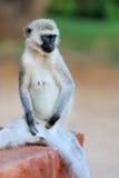 Nahaufnahme vervet Affe Stockbilder