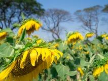 Nahaufnahme verwelkte Sonnenblume mit Sonnenblumen im Garten arbeiten und blauer Himmel b Stockbilder