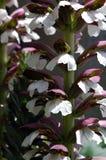 Nahaufnahme von Acanthusblumen Stockbilder