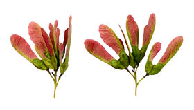 Nahaufnahme von Acer tataricum Samen Stockfotos