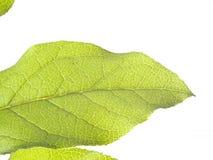 Nahaufnahme von Adern auf grünem Blatt-Weiß-Hintergrund Lizenzfreie Stockfotografie