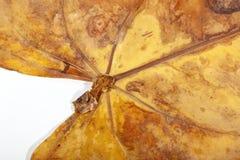 Nahaufnahme von Adern und Stamm trockenen Anthirium-Blattes Stockbild