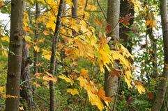 Nahaufnahme von Ahornblättern im herbstlichen Wald lizenzfreie stockbilder
