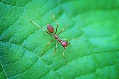 Nahaufnahme von alleinen Weaver Ant in Thailand Stockbild