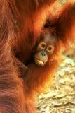 Nahaufnahme von Baby Sumatran-Orang-Utan, der auf seiner Mutter, Gunun sitzt Lizenzfreies Stockfoto