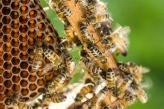 Nahaufnahme von Bienen auf Bienenwabe im Bienenhaus Stockfotografie