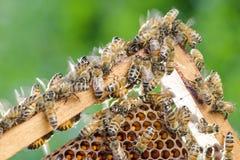 Nahaufnahme von Bienen auf Bienenwabe im Bienenhaus Lizenzfreie Stockbilder