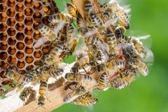 Nahaufnahme von Bienen auf Bienenwabe im Bienenhaus Stockfoto