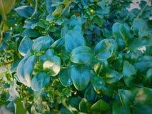Nahaufnahme von Blättern auf einem Ficus, der in die Sonne glüht Lizenzfreie Stockbilder