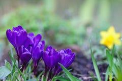Nahaufnahme von blühenden violetten Krokussen Lizenzfreie Stockfotos