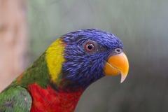 Nahaufnahme von blauem, grünem, rotem und gelbem Lorikeet stockbilder