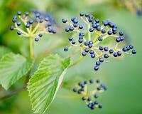 Nahaufnahme von blauen Beeren auf Niederlassung Lizenzfreie Stockbilder